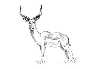 Hand drawing antelope. Vector illustration