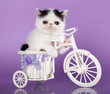 Exotic kitten on a bicycle