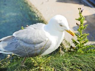 seagull on english channel beach of Etretat