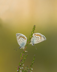 The Silver-studded blue, plebejus argus resting on heather