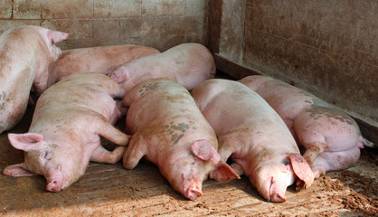 huge pigs in the sty of the farm