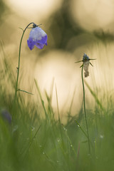 Harebell with dew after a cold night, first light of the new day