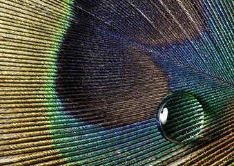 water drop on a peacock feather