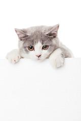 Cute kitten with blank billboard.  Lovely British Shorthair kitt
