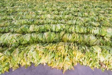 Raw Tobacco Leaf From Garden
