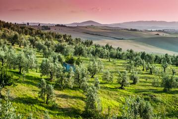 Paesaggio toscano di campagna, colline con ulivi, toscana