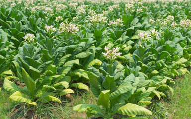 Tobacco Flowers In The Farm Plant Of Thailand