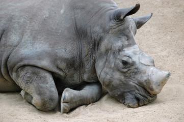 El descanso del rinoceronte