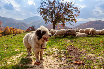 Dogs guard the sheep on the mountain pasture