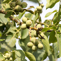 Walnuts on the tree in nature