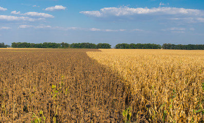 Agricultural landscape with ripe maize and sunflower field