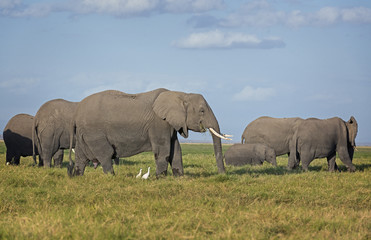 Herd of African Elephants on pasture