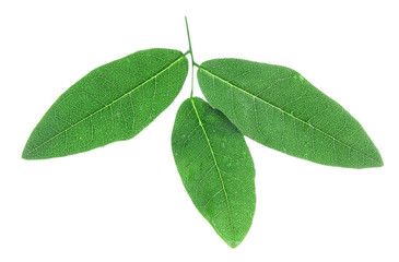 Acacia brunch on white background isolated