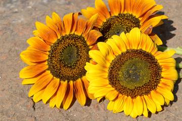 Beautiful sunflowers on stone outdoors