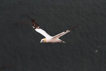 uccello sula bassana helgoland mare del nord isole frisone