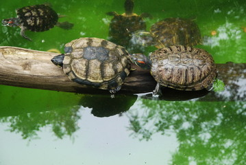 Small turtles in wildlife