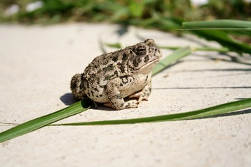 proud toad