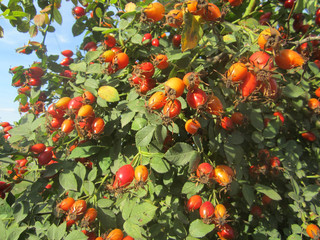 rosehips berries