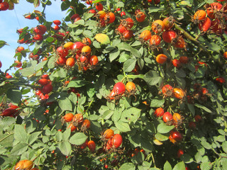 berries of rosehips