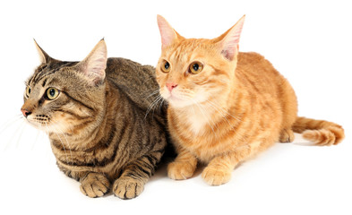 Two cats isolated on white