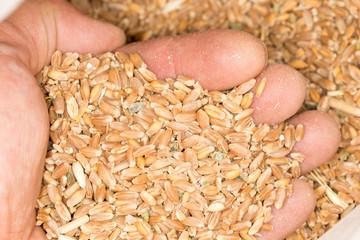 wheat in the hand. close-up