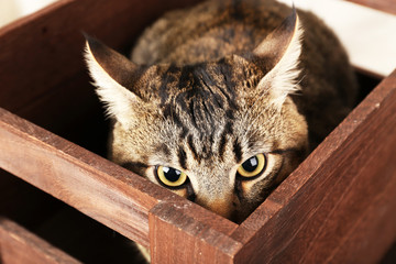 Grey cat in wooden box closeup