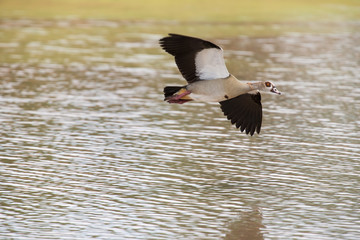 Egyptian goose flying over water with stretched wings to land
