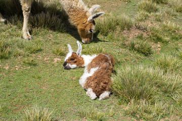 Cucciolo di Lama appena nato