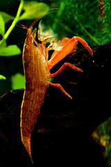 Aquarian shrimp