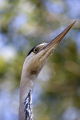 Closeup photo from the head of a blue heron bird.