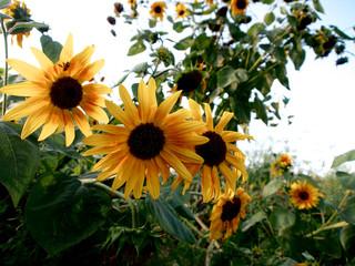 Sonnenblumen im Gemüsegarten