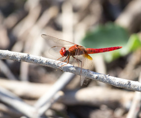 Red Dragonfly on nature. macro