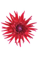 Single red Dahlia flower head isolated on white background
