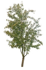 pear tree isolated
