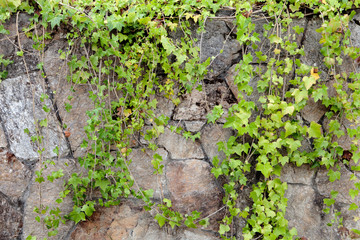 Stone wall covered with climbing plants