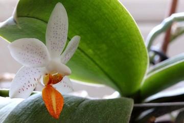 Orchid - Phalaenopsis
