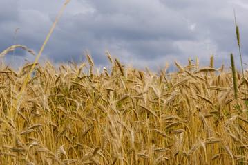 Ripe corn in field