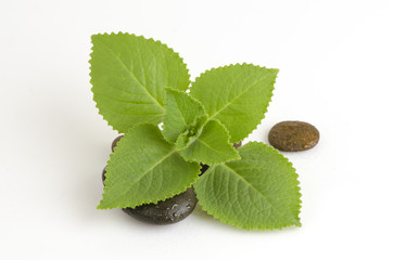 Country Borage, Indian Borage, Herbs with medicinal properties.
