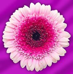 Gerber flower on purple background