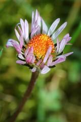 Daisy - Closeup