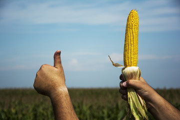 Man hands holding corn across the cornfield