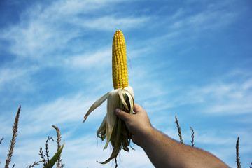 Man holding corn across the cornfield