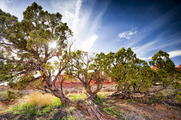 Juniper Trees in Arches National Park