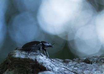 Female stag beetle, Lucanus cercvus in twilight