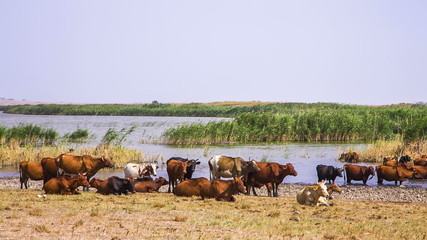 Herd Of Cows Near Pond