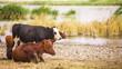 Cows at Pond
