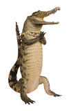 Crocodile hello isolate on white background