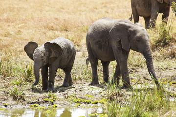 Elephants on the Masai Mara in Africa