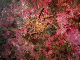 The young king crab, Barents sea