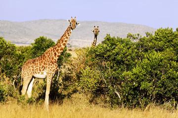 Giraffes on the Masai Mara in Africa